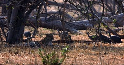 Close up shot of Guineafowl, Numididae sp walk behind a Leopard,Panthera pardus resting in the shade of a tree