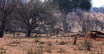 Wide shot of Guineafowl, Numididae sp walk behind a Leopard,Panthera pardus resting in the shade of a tree