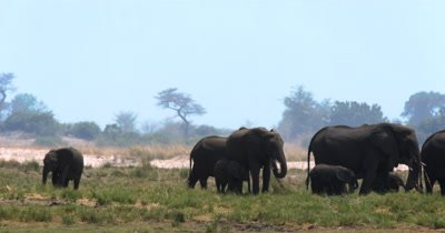 A large heard of  African Elephant,Loxodonta africana  with many baby's on the Island on Chobe River in the shimmering heat haze