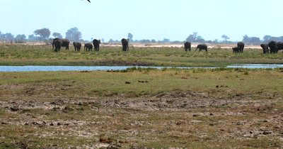 A Wide shot of a large heard of  African Elephant,Loxodonta africana  with many baby's on the Island on Chobe River with a group of tourists on a house boat and Impala in the fore ground