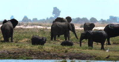 A large heard of  African Elephant,Loxodonta africana  with many baby's playing  on the Island on Chobe River splash water and mud on themselves in the shimmering heat haze of the day