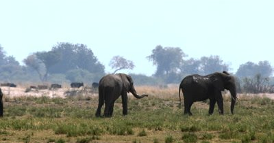 A large heard of  African Elephant,Loxodonta africana  with many baby's on the Island on Chobe River in the shimmering heat haze, while cattle pass behind them
