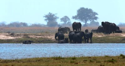 A large heard of  African Elephant,Loxodonta africana  with many baby's climb out of the Chobe River onto the river bank