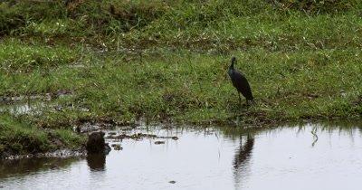 A black heron, Egretta ardesiaca on the Chobe river bank