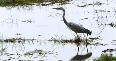 A grey Heron,Ardea cinerea  hunt, hunting, predation, ing,fishing for food on the Chobe river, stepping carefully through the water