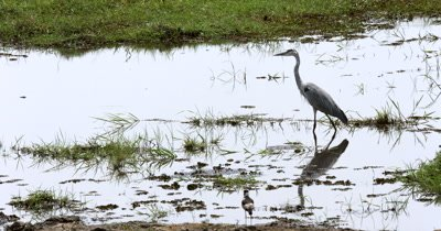 A grey Heron,Ardea cinerea  hunt, hunting, predation, ing,fishing for food on the Chobe river, its reflection on the still waters surface