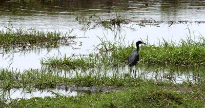 Close up of A black heron, Egretta ardesiaca on the Chobe river bank
