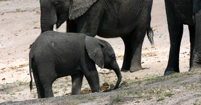 A baby African Elephant,Loxodonta africana eating grass stays close to its mom. Note the moms teat