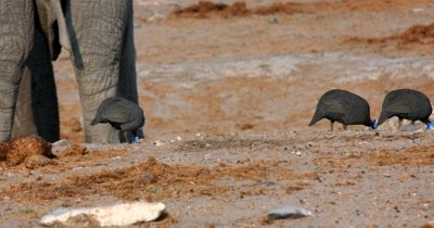 Close up of Guinea fowls,Numididae sp pecking food off the ground around elephant's feet