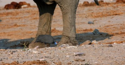 Close up of Guinea fowl,Numididae sp pecking food off the ground around elephant's feet