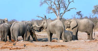 A herd of dusty, male African Elephants,Loxodonta africana drinking water while Guinea fowls sift through their dung for food.