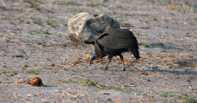Close up of Guinea fowls,Numididae sp pecking food off the ground around elephant's dung