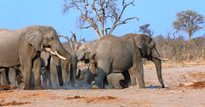 A dusty,large, male African Elephants,Loxodonta africana dominates and chases another male out of its way