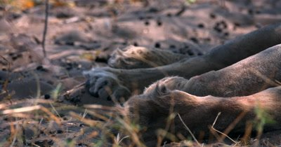 Close up of the paws,claws retracted of a Savute lion,Panthera leo
