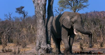 An African Elephant,Loxodonta africana  standing next to a tree where a squirrel runs down walks past the camera out of shot