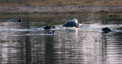 A Hippopotamus,Hipopotumus amphibius is chased out of the river by another one of the Crash