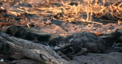 Wild dog pups, Lycaon pictus playing and resting under the shade of a tree