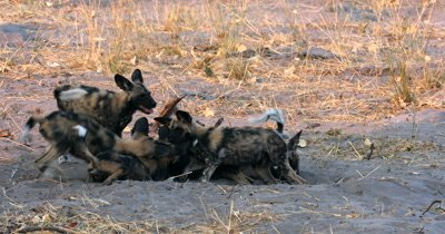 A pack of young Wild dog pups, Lycaon pictus playing, biting, rough and tumble
