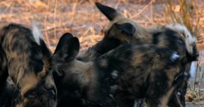 A close up of a pack of young Wild dog pups, Lycaon pictus playing, biting, rough and tumble