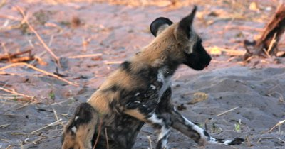 A close up of a young Wild dog pup, Lycaon pictus sitting on the sand yawning
