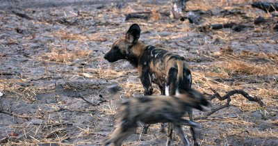 A close up of a young Wild dog pup, Lycaon pictus having a poo and is so excited to see an adult