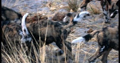 A close up of a pack of young Wild dog pups, Lycaon pictus playing, biting, rough and tumble, fighting over something they each want