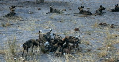 A pack of adult Wild dogs and their young  pups, Lycaon pictus . The adults always keeping watch around the outside of the pups who are playing and tugging