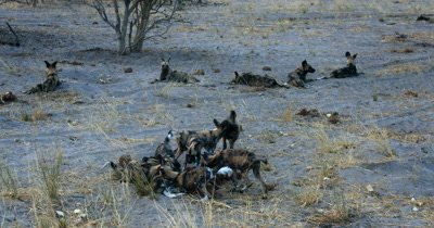 A pack of adult Wild dogs and their young  pups, Lycaon pictus . The adults always keeping watch around the outside of the pups who are playing and tugging and fighting over something