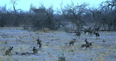 A pack of adult Wild dogs and their young  pups, Lycaon pictus on the move, the adults showing the way. They suddenly hear something and dash off