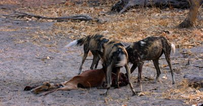 African wild dog, African  hunt, hunting, predation, ing dog, or African painted dog, Lycaon pictus  tugging and eating the bloody flesh at an Impala kill.