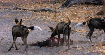 African wild dog, African  hunt, hunting, predation, ing dog, or African painted dog, Lycaon pictus  tugging and eating the bloody flesh at an Impala kill. Their necks and faces dripping with blood.