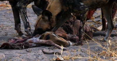 Cloase up of African wild dog, African  hunt, hunting, predation, ing dog, or African painted dog, Lycaon pictus  tugging,tearing and eating the bloody flesh at an Impala kill.