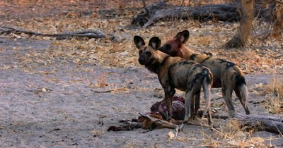 Wide shot of African wild dog, African  hunt, hunting, predation, ing dog, or African painted dog, Lycaon pictus  tugging,tearing and eating the bloody flesh at an Impala kill.