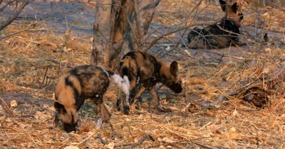 Juvenile African wild dog, African  hunt, hunting, predation, ing dog, or African painted dog, Lycaon pictus pups sniffing the grass in search of food scraps