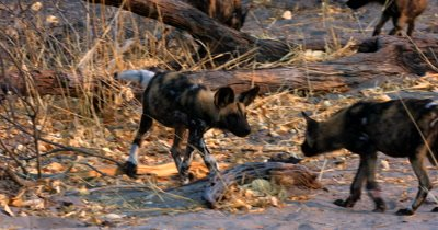 A Juvenile African wild dog, African  hunt, hunting, predation, ing dog, or African painted dog, Lycaon pictus pup finds some elephant dung to eat