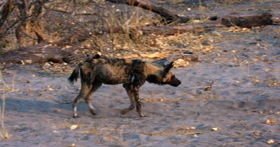 An adult African wild dog, African  hunt, hunting, predation, ing dog, or African painted dog, Lycaon pictus returns to the juveniles from the Impala kill and regurgitates food for the pups which they then carry large pieces of meat away to eat