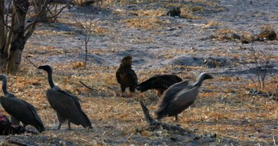 Two Bateleur  Eagles,Terathopius ecaudatus and some A White-backed vulture, Gyps africanus at the Impala kill