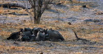 A Hooded Vulture,Necrosyrtes monachus  and a flock of  White-backed vultures, Gyps africanus tugging at the carcass  at an Impala kill