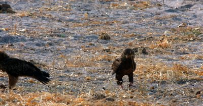 Three Bateleur Eagles and a Hooded Vulture eating scraps from the kill