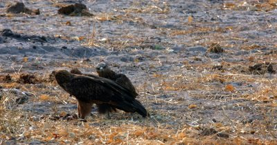 Two Bateleur Eagles and a Hooded Vulture eating scraps from the kill