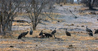 A Lappet face vulture,Torgos tracheliotos tugging at the Impala carcass