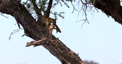 Close shot showing the Leopard,Panthera pardus with its kill, a dead Impala in its mouth jumping along the tree trunk and almost looses the Impala when it jumps from one trunk to another. Pure strength and agility.