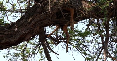 Tilt shot from a dead Impala that has been wedged in the fork of a tree to the Leopard