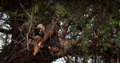 Close shot showing the Leopard,Panthera pardus eating its kill, a dead Impala on a tree. The dead Impalas head dangling