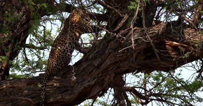 Close shot showing the Leopard,Panthera pardus tugging with its mouth and claws at  its kill, a dead Impala that is jammed in a tree