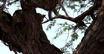 A Leopard,Panthera pardus rest on the thorn tree Trunk after hauling its killed Impala up the tree