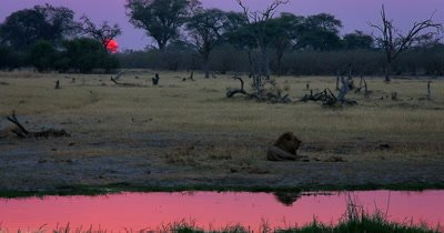 Sunset shot of the exhausted male Lion, Panthera leo after having numerous mating sessions resting, while the orange ball of the sun glows in the distance and disappears as it sets