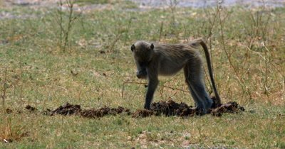 A close up of a Monkey,Cercopithecidae sp who picks up an Elephant dung and eats things from it