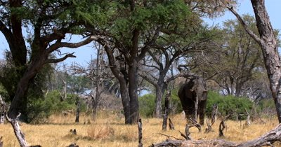 An African Elephant,Periodontal africana Squats on its hind legs and stretches up with its trunk to a branch of a tree, twisting it to break off the greenery to eat.