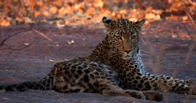 Close up of the whole body of a Leopard,Panthera pardus lying on the sand flicking flies off its ears